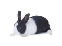 The Dutch rabbit. Isolated on white background Royalty Free Stock Photos