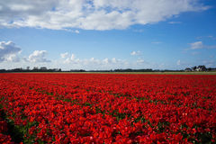 Dutch Red Flower Fields 1 Stock Photos