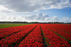 Dutch Red Flower Fields 2 Royalty Free Stock Image