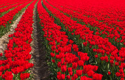 Dutch red tulip field Stock Photo