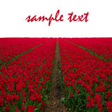 Dutch red  tulip fields Royalty Free Stock Image