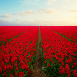Dutch red  tulip fields Royalty Free Stock Images