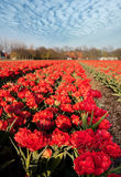 Dutch red tulips Royalty Free Stock Photography