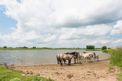 Dutch river landscape with horses Royalty Free Stock Images