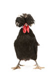 Dutch rooster royalty free stock images