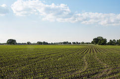 Dutch rural landscape with corn fields Royalty Free Stock Photos