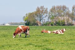 Dutch rural landscape in Groningen with grazing cows stock images
