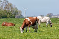Dutch rural landscape in Groningen with grazing cows stock photo