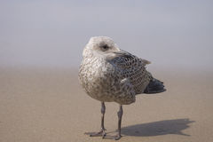 Dutch seagull at Zandvoort, Netherlands Stock Photos