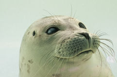 Dutch Seal in Waddenzee Stock Images