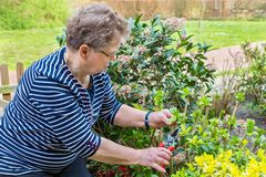 Dutch senior woman pruning branch of hydrangea stock photos