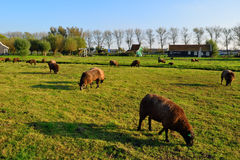 Dutch sheep grazing green grass with a sky background Stock Photo