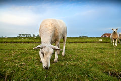 Dutch sheep grazing on pasture Stock Photography