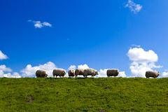 Dutch sheep on horizon Royalty Free Stock Image