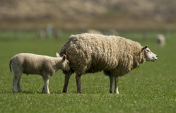 Dutch sheep Stock Photos