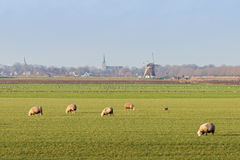 Dutch sheep landscape Royalty Free Stock Photo