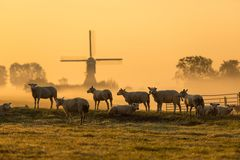 Dutch sheep in morning mist. Herd of Dutch sheep with windmill in the mist in the background stock photography
