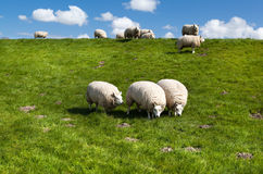 Dutch sheep on pasture Stock Photos