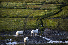 Dutch sheep on pasture Stock Photo