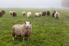 Dutch sheep on pasture Royalty Free Stock Image