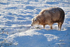Dutch sheep on snow. Dutch cute sheep outdoors on winter snowy pasture Stock Photo