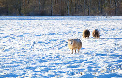Sheep on snow pasture Royalty Free Stock Photography