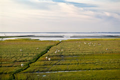 Sheep on the swamp mood by north sea Royalty Free Stock Images