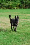 Dutch Shepherd Royalty Free Stock Images