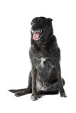 Dutch Shepherd Dog  Royalty Free Stock Images