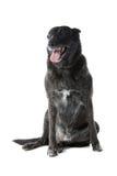 Dutch Shepherd Dog  Royalty Free Stock Images