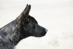 Dutch shepherd dog Royalty Free Stock Image
