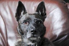 Dutch shepherd dog Stock Photos