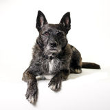 Dutch shepherd dog Stock Photos