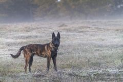 Dutch Shepherd dog in the country on a foggy morning stock photos