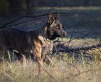 Dutch Shepherd dog in the country royalty free stock image