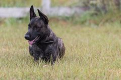 Dutch Shepherd dog Stock Photo
