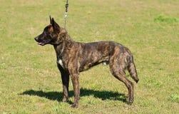 Dutch shepherd dog in field Royalty Free Stock Photo