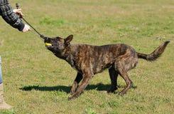 Dutch shepherd dog in field Stock Photos