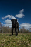 Dutch shepherd. Dog having fun outside Stock Photos