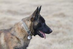 Free Dutch Shepherd Dog Or Belgian Malinois Dog, Pointy Eared Dog Stock Photography - 135979342