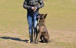 Dutch shepherd dog Royalty Free Stock Photography