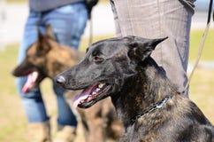 Dutch shepherd dog Stock Photo