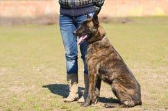 Dutch shepherd dog Royalty Free Stock Photo