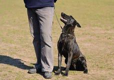 Dutch shepherd dog Royalty Free Stock Image