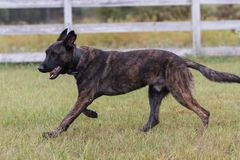 Dutch Shepherd dog  running with a ball Stock Image