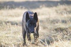 Dutch Shepherd dog in stalking position stock image