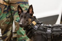 Dutch Shepherd police dog wearing vest and harness Stock Photo