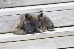 Dutch Shepherd Puppy, about 2 months old, chews on stick Stock Images