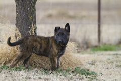 Dutch Shepherd Puppy, about 2 months old Royalty Free Stock Photography