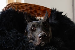 Dutch Shepherd relaxing Stock Photography